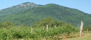 Sharp Rock Vineyard at the Foot of Old Rag