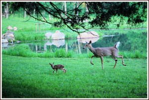 A doe and her fawn near the lake at Shadow Mountain Escape