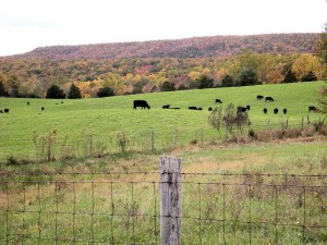 Even the cows enjoy the fall colors