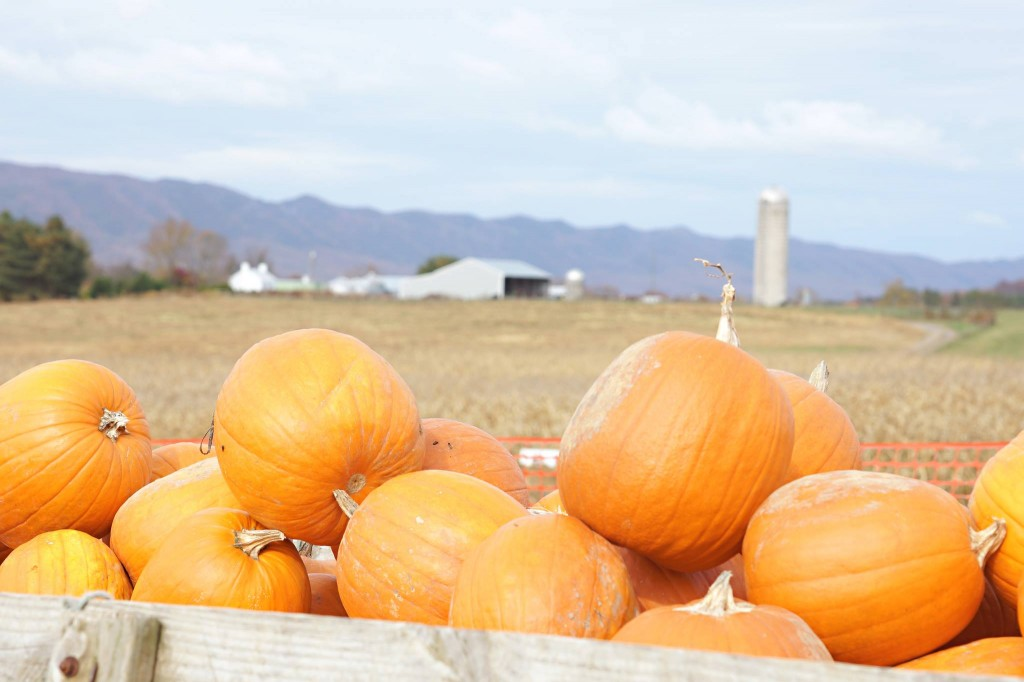 Pumpkins at Valley Star Farm