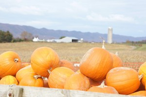 Pumpkins at Valley Star Farm
