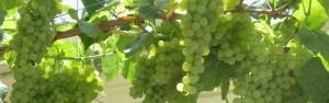 Wisteria Grapes